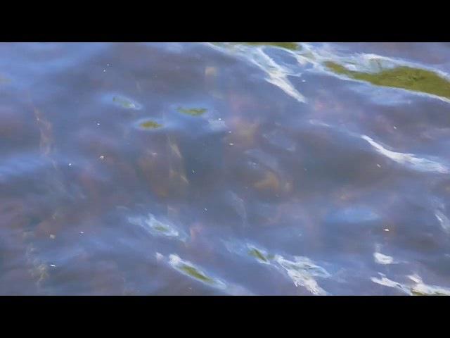 Сёмга идёт на нерест или око видит да зуб неймет Salmon are spawning