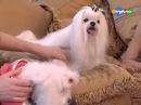 Про породу собак - Мальтийская болонка Maltese