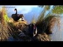 Гнездование чёрных лебедей