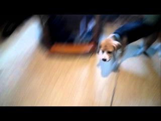 Дрессировка собак, команда собирай, бигль
