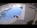 Un gato empuja a otro a una piscinal