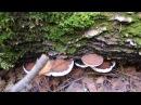 Трутовик плоский 🍄 Ganoderma applanatum Гриб 🎨 художника
