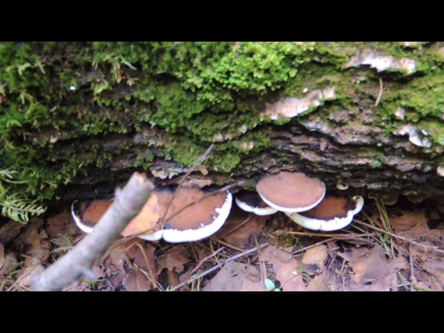 Трутовик плоский 🍄 (Ganoderma applanatum). Гриб 🎨 художника.