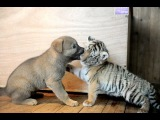 CUTE ~ Tiger and Lion vs Little Dog!