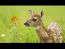 The Private Life of Deer - Amazing Nature Documentary HD