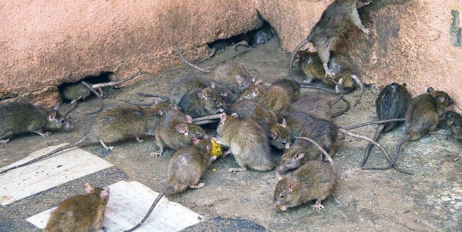 В Таганроге начали борьбу с полчищами крыс