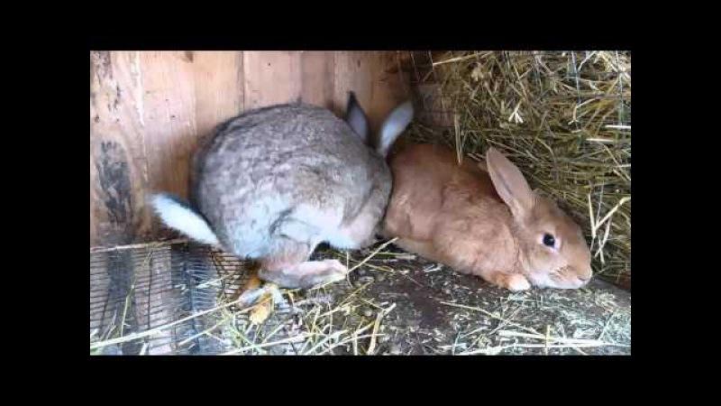 Спаривание кроликов. Рабочий самец.