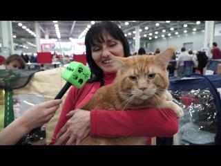 Самая ласковая порода кошки – это ...