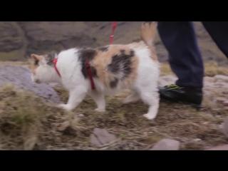 Слепая кошка Стиви покорила самую высокую гору в Ирландии.