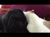 Кошка лижет мопса