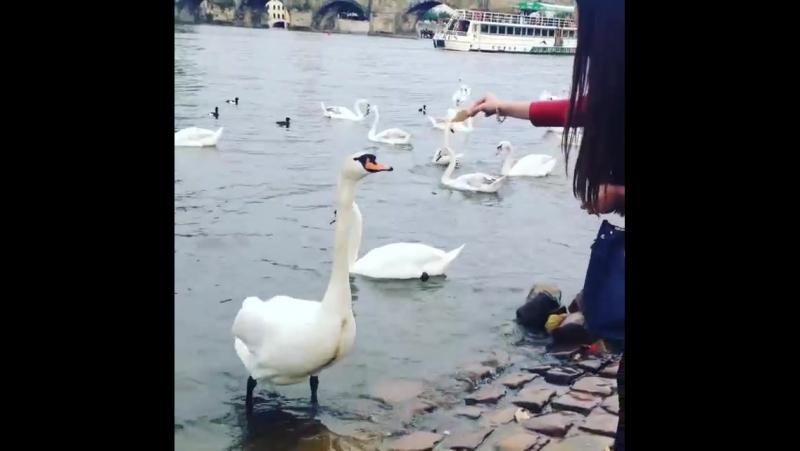Praha, Karlův Most, labutě