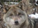 Howling Wolves - Alpenzoo Innsbruck - Tirol