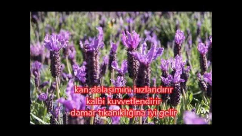 Mucize bitki KARABAŞ OTU (kalp doktoru)