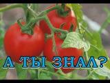 9 секретов урожайных помидоров