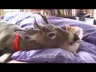 Кошка нашла себе ласкового ухажера