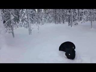 Птица глухарь атакует лыжника