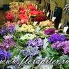 FloraPiter.Ru - ФИАЛКИ коллекционные