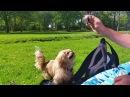Кекс и мяч в парке  Наш поисковый пес (Пекинес  Собака)