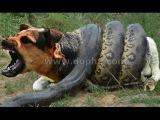 Giant Anaconda vs Dog, Python vs Bat, Anaconda vs Crocodile, Python vs Leopard
