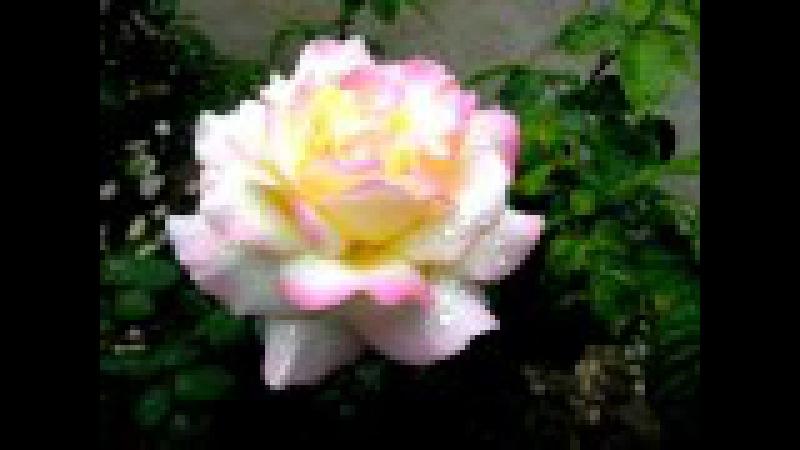 Sógor Duó - A rózsák könnyesek