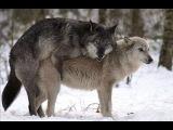 Спаривание животных Собаки Волки 18+ Mating Dogs Sex Wolf mating