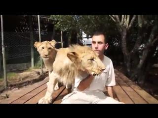 Очень ласковые львы