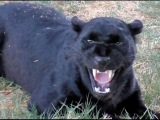 African Black Leopard In Heat - Cat Growls Snarls Displays Runs &amp Sprays At Big Cat Breeding Center