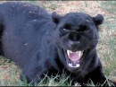 African Black Leopard In Heat - Cat Growls Snarls Displays Runs Sprays At Big Cat Breeding Center