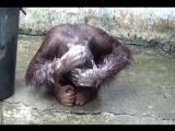 Семилетний орангутан Кунг и его утренний туалет в Открытом зоопарке Као Кео.
