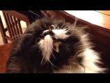 У котика замерзает мозг, когда он ест мороженое