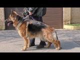 ЖДЕМ ЩЕНКОВ. Длинношерстная Немецкая овчарка Лаффи. Soon, long-haired German shepherd puppies.