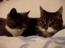 Коты.смешная google озвучка ivona
