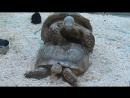 Шпороносные черепахи в Экзопарке.ТРЦ Рио 2