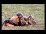 BIGGEST ANACONDAs IN the World - Giant Anaconda Attacks Man Caught on Camera - YouTube