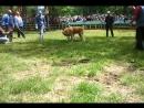 Собачьи бои Алабай в Северной Осетии