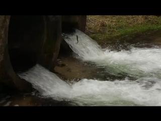 Форель прыгает против течения - идёт на нерест по река Тартак