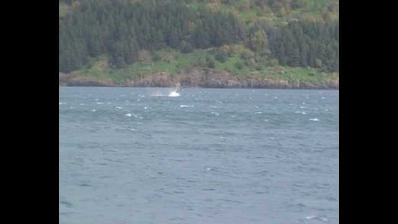 The northern bottlenose whale in Akureyri