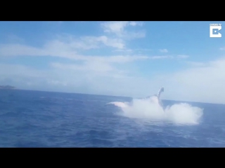 Горбатый кит: невероятной красоты прыжок