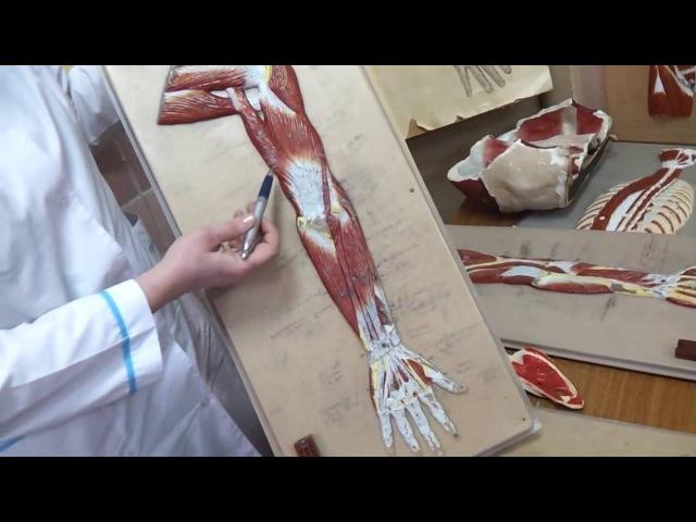 Мышцы руки Мышцы Предплечья Верхние конечности