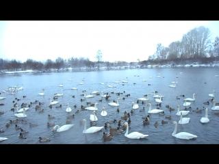 Лебединое озеро.