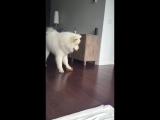 Samoyed_Sings_while_Squeezing_Toy