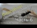 ВидеоБлог Serviformica rufibarbis часть 6 Колония погибнет
