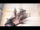 Giant Locust Phymateus aegrotus