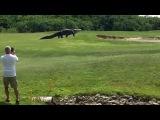 Гигантский аллигатор гуляет на поле для гольфа