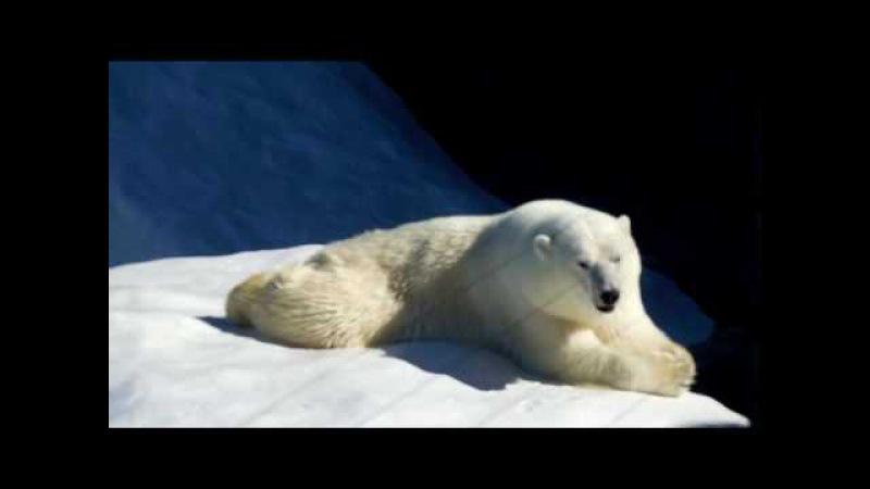 Белый медведь, измученный жарой. Ижевск. Зоопарк