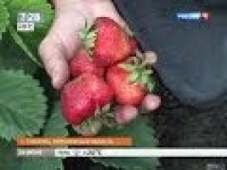 2014 Новости сегодня - Секрет выращивания гигантской клубники