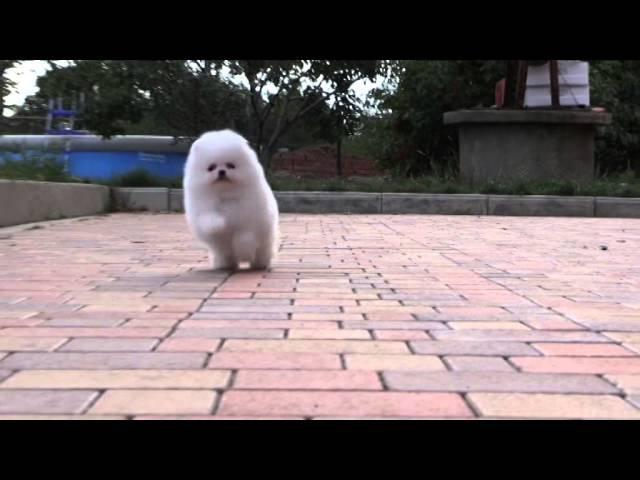 Белый померанский шпиц. Puppy white Pomeranian. www.elitdog.com