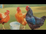 Saint-Saens Carnival of the Animals~Poules et Coqs (Hens and Cockerals)