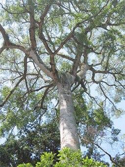 Африканский махагон в природе