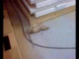 Ласка против Крысы